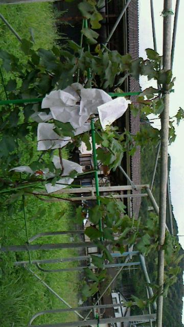 初めての葡萄の収穫
