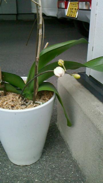胡蝶蘭に花が付きました!