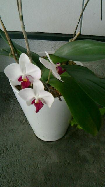 胡蝶蘭に3輪花が咲きました!