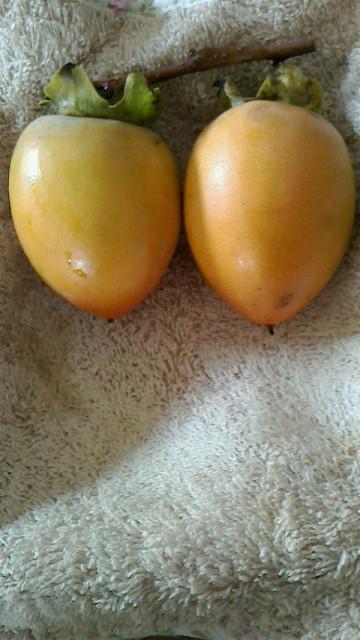 我が家の初めての柿