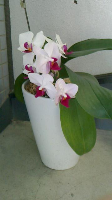 胡蝶蘭の花五輪